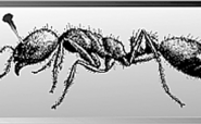 Mickey Mouse, Quagga And Stink Ant