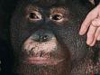 Orangutan Ňuninka, Ústí nad Labem