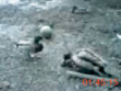 Duck Fuck, 2005, video film