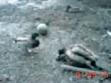 Duck Fuck, 2005, video film