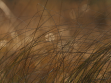 Petr Meduna, Carex lasiocarpa, z cyklu Trávy